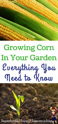 Growing Corn in Your Garden - everything you need to know from seed to harvest.