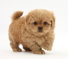 pomeranian puppies for sale in michigan ebay 1000 images about puppies on pinterest shih tzu 8138