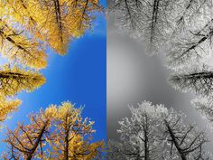 Larches Color to Black and White Reflection A color to black and white reflection image of larches in early winter in Washington State. color black white reflection mirror valley larch larches winter Washington State Pacific Northwest hike hiking wilderness outside PNW outdoors explore mountain mountains view views quest live authentic outbound trees love beautiful happy fun art smile style amazing cool awesome adventure snow winter