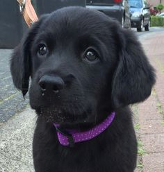 Why do so many people like Labrador ? by L&G PET Many people now keep a Labrador when choosing a companion dog. Super Cute Puppies, Baby Animals Super Cute, Cute Baby Dogs, Cute Little Puppies, Cute Dogs And Puppies, Cute Little Animals, Cute Funny Animals, Doggies, Baby Animals Pictures
