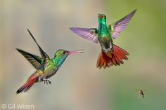 rufous tailed hummingbirds - Belize