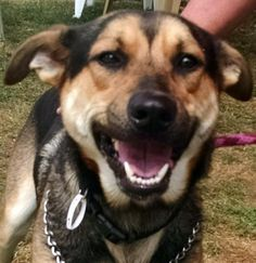 Meet 21 Knuckels, a Petfinder adoptable Shepherd Dog | Canton, OH | Release date 8/31,  $ 86.00 fee includes OH license, DA2PP, Bordetella vaccine, Hw testing, Worming...