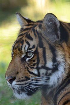 호랑이  #호랑이 #사이버동물원