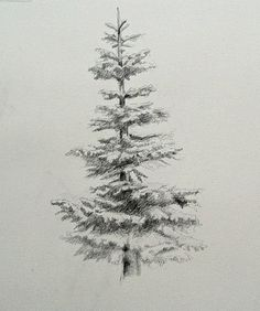 noble fir, evergreen, drawing, graphite