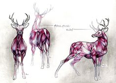 Deer's Anatomy Study... by TheFeelGoodsWall.deviantart.com on @DeviantArt