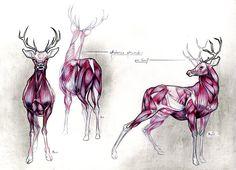 Deer's Anatomy Study... by TheFeelGoodsWall.deviantart.com on @DeviantArt