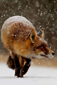 Superb Nature - beautiful-wildlife: Fox First Snow by Roeselien. Nature Animals, Animals And Pets, Cute Animals, Amazing Animals, Animals Beautiful, Beautiful Beautiful, Fuchs Baby, Fantastic Fox, Photo Animaliere