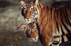 Wild tigers typically avoid human contact