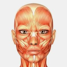 Face Muscles Anatomy, Head Muscles, Muscles Of The Face, Facial Anatomy, Muscle Anatomy, Facial Muscles, Human Anatomy, Muscle Diagram, Anatomy Images