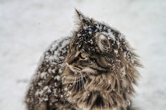All sizes | Boris The Cat In The Snow | Flickr - Photo Sharing!
