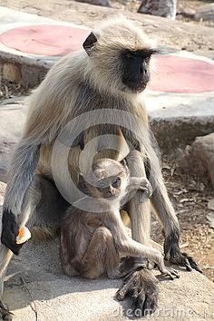 A beautiful closeup portrait of a langur monkey mom and and baby at the top of a mountain in Rajgir Bihar India. The clear eyes of the baby are stunning! Clear Eyes, Mother And Baby, Monkeys, Close Up, Mountain, India, Stock Photos, Mom, Portrait