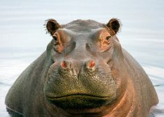 Did you know hippos can close their nostrils to keep water out when they're submerged? Learn more fun hippopotamus facts at Animal Fact Guide!