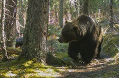 Meet 'The Boss,' Banff's biggest, baddest bear
