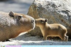 Capybara Kiss....I just died of CUTENESS overload!!!!!