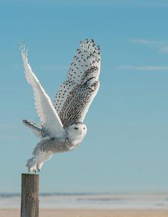 Búho nival hembra emprendiendo el vuelo, la diferencia del macho a la hembra, es que ésta tiene manchas negras (by The Photo Fiend)