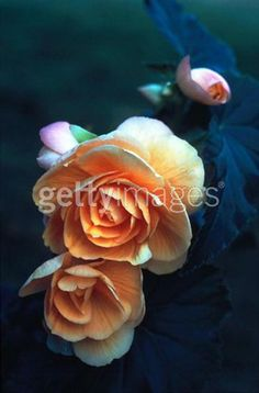 Ernst Haas Peach Begonia