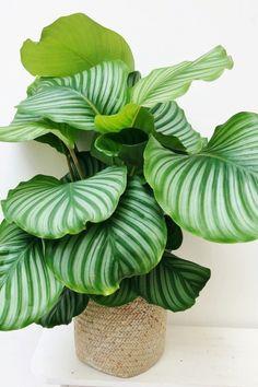 House Plants Decor, Plant Decor, Garden Plants, Indoor Plants, Calathea Orbifolia, Household Plants, Decoration Plante, Plants Are Friends, House Plant Care