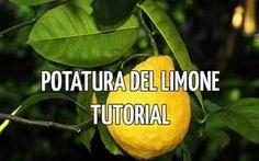 Se stai cercando una guida o un tutorial passo passo alla potatura del limone, allora questo è il posto giusto. Troverai la guida alla potatura del limone utilizzando i migliori strumenti e consigli