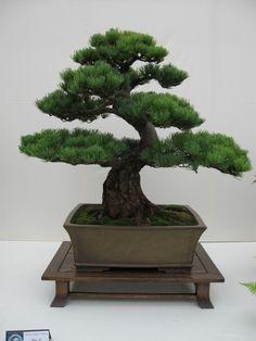 Incredible Japanese pine