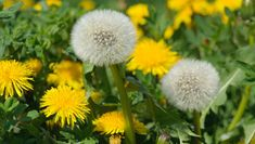 Cream of Dandelion Soup: By foraging in your backyard, you can turn a crop of this cheerful but maligned weed into a tasty, traditional French #soup. #recipe #vegetarian