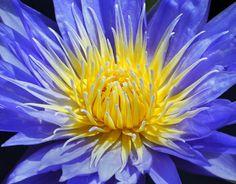 "Summer Water Lily, Fairchild Tropical Botanic Garden. Cape Blue Water Lily, ""Nymphea capensis zanzibariensis"""