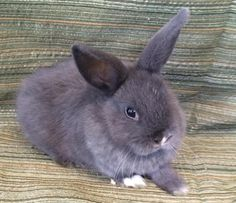 Meet Cookie, a Petfinder adoptable American Rabbit | Marathon, FL | Petfinder.com is the world's largest database of adoptable pets and pet care information....