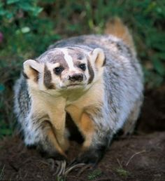 American badger is a fossorial carnivore. It preys predominantly on pocket gophers, ground squirrels, moles, marmots, prairie dogs, pika, woodrats, kangaroo rats, deer mice, and voles, often digging to pursue prey into their dens, and sometimes plugging tunnel entrances with objects.