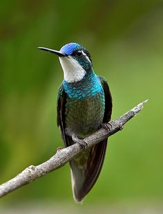 Gray tailed Mountain Gem Hummingbird (Lampornis cinereicanda) found in the Mountains of Costa Rica