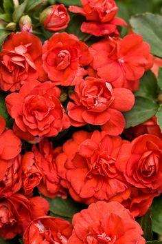 Rockapulco® Dark Orange - Double Impatiens - Impatiens walleriana