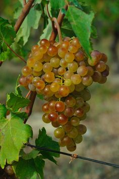 Gavi: una bandiera del made in Italy. Gavi wine: an emblem of 'made in Italy'. www.gavi972.it