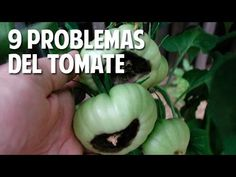 9 Problemas frecuentes en el cultivo de tomate y Soluciones - 9 frequent...