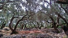 Olive Tree, Greece, Walking, Plants, Photos, Scenery, Greece Country, Jogging, Flora