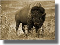 American Buffalo Picture, Made on Stretched Canvas, Wall Art Decor, Ready to Hang!