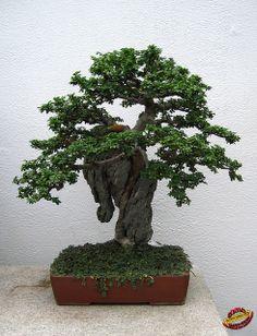 Old Chinese Elm Bonsai | Bonsaï & Penjing - Chinese elm - Ulmus parvifolia - Ulmaceae - 35 ...