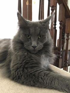 Our majestic little lion - http://cutecatshq.com/cats/our-majestic-little-lion/