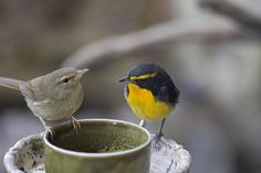 narcissus flycatcher and bush warbler        (photo)