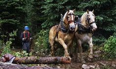 Logging with horses: Horse Logger Following Two Belgian Horses