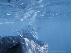 Whale shark, Bahía de los Angeles by Felipe Gómez on 500px - Baja California, Mexico