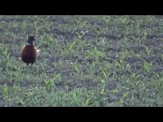 Pheasant - Video 1 - YouTube