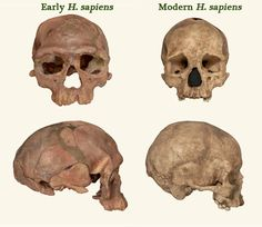 Ancient H. sapien skull compared to modern human. Fossils rewrite the history of our species.