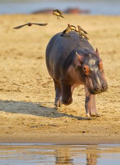 Flighty baby hippo! - This baby hippo was not happy with all the attention it was getting from a small flock of Red-billed Ox-peckers and was heading back to mum and the safety of water!  Captured from a hide dug into the banks of the Luangwa River, South Luangwa Nat Park.