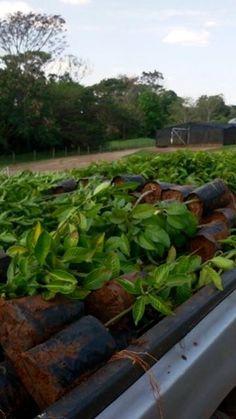 Mutirão planta mil mudas em áreas verdes de Piracicaba   Sou Repórter