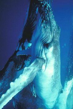 Humpbackwhale Whale Watching Avistamiento de Ballenas Vallarta By Boat