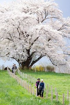 The Great Cherry Tree blossoms in full bloom, Hachimantai in Iwate, Japan The cherry blossom. My second favorite tree Trees And Shrubs, Flowering Trees, Beautiful World, Beautiful Places, Unique Trees, Nature Tree, Tree Forest, Jolie Photo, Cherry Tree