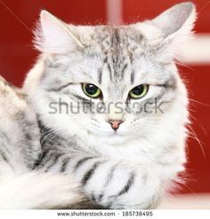 silver cat of siberian breed - new on @Shutterstock