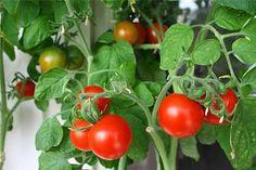 Балконное чудо - помидоры на балконе и в открытом грунте