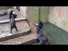 Ours dans Hellhole Zoo Filmed Mendicité pour l'alimentation, manger des excréments | Blog | PETA Latino
