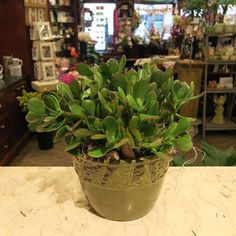 We are loving jade plants lately. Perfect office plant, house plant, table…
