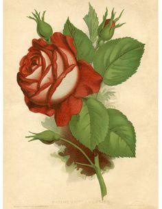 Red Rose Vintage Printable