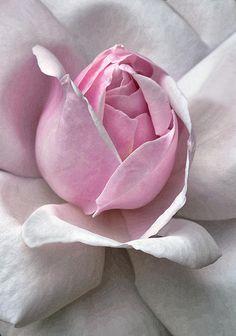 Blushing Pink ♡